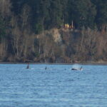Kitsap Orcas